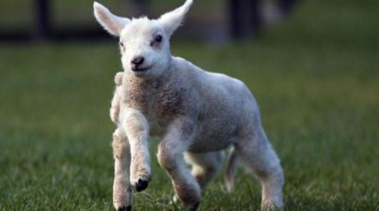 Шокиращо: Агне се роди с 5 крака и 6 копита