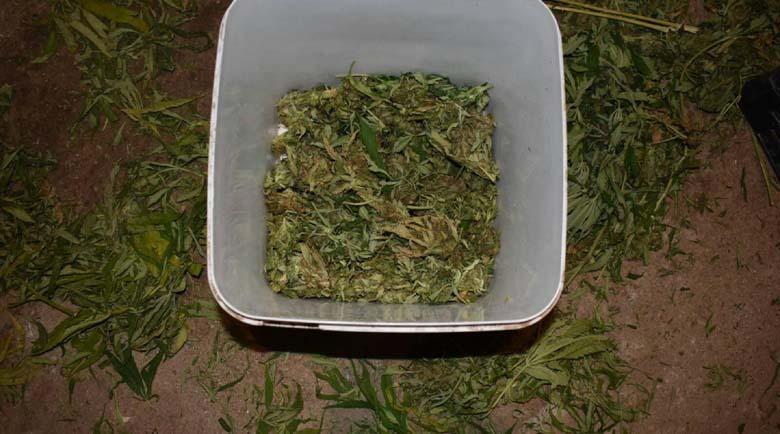 Ожънаха 80 кг канабис в селски двор в Малко Дряново