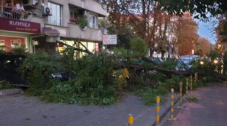 Огромно дърво падна върху няколко автомобила във Варна