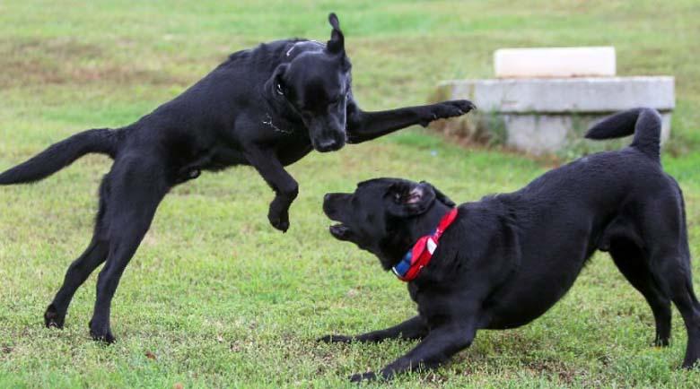 Обучиха първите кучета, които ще помагат на диабетици