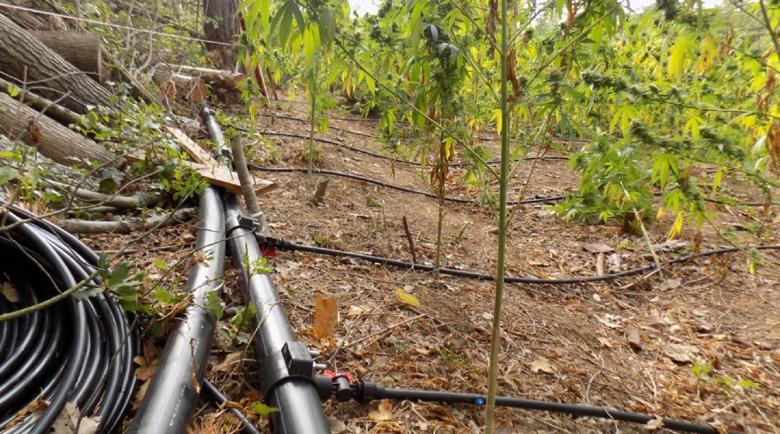 Полицаи разкриха плантация за марихуана с капково напояване