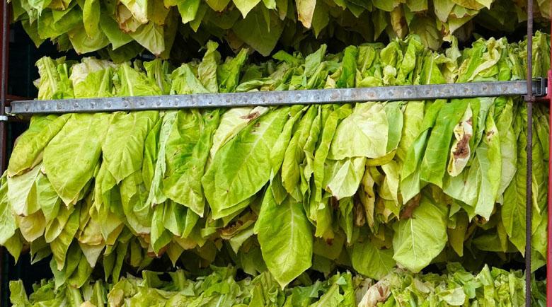 Земеделци обраха над 7 500 тона тютюн тази година