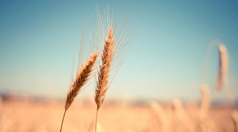 Сушата погуби 1,7 млн. тона зърнена реколта